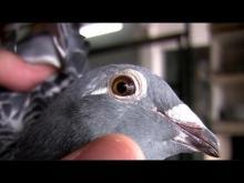 Embedded thumbnail for Kod Adı : Şampiyon - Posta Güvercinleri ve Yarışları - Bölüm 1/4